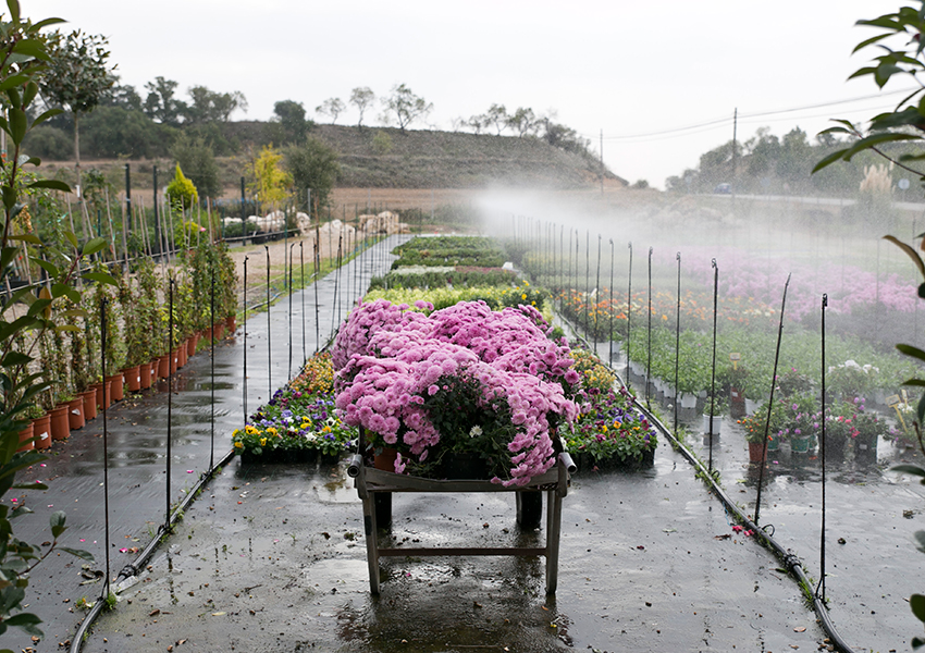 Brotalia Valentia flores