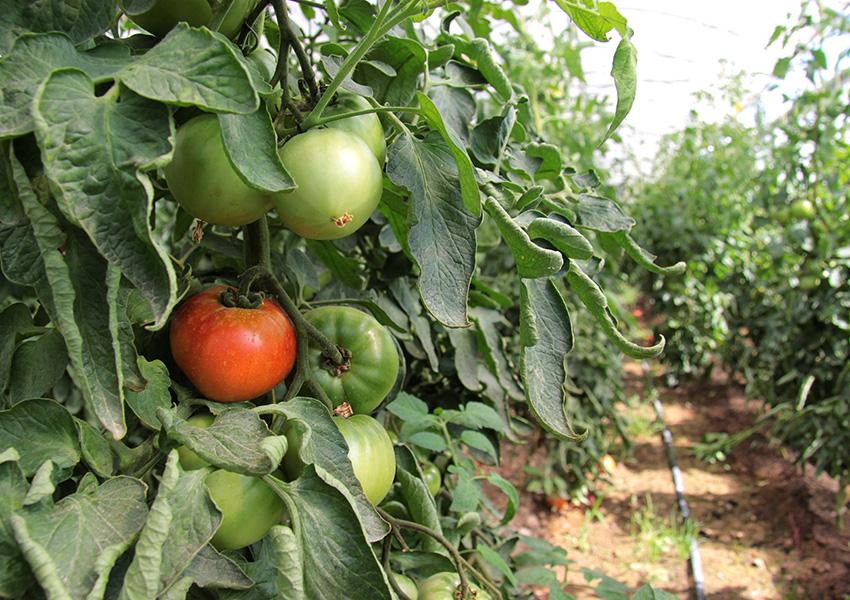 Huerta Ecológica Valentia tomates